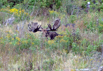 Maine Moose Hunting Allagash Wilderness Camps