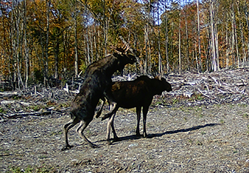 Maine Moose Hunt Allagash Wilderness Camps